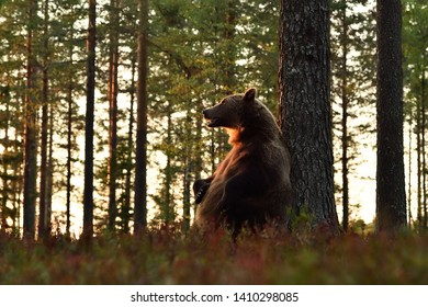 Brown bear sits against a tree. Bear resting in forest,