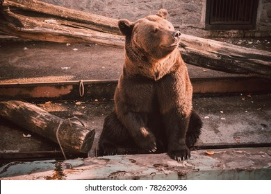 Brown bear sits in zoo. Brown bear sitting on wooden floor. Big brown bear (Ursus arctos) sitting about stone wall. Brown bear sitting on a wood in a gorgeous pose and thinking.
