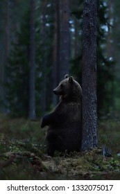 Brown bear sitting against a tree in the forest late in the evening. Bear sitting in the forest.