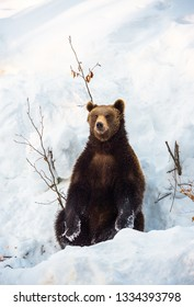 brown bear sitting comfortable in the snow in winter - National Park Bavarian Forest - Germany