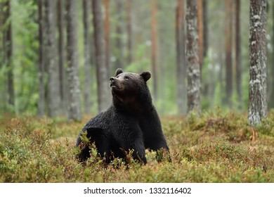 brown bear sitting in the forest and looking up