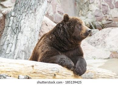 Brown bear sitting near fallen tree.