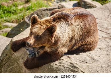 Brown bear sitting on a rock. Wildlife environment. Wild animals