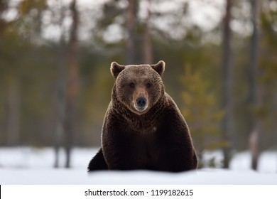 Brown bear sitting on the snow early in spring