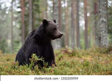 brown bear sitting in the rain, forest scenery, trees on the background