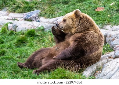 Brown bear sitting relaxed on the grass and eating