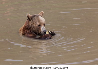 A brown bear sitting in a shallow pond playing with a piece of old firehose with its claw trying to open the end.