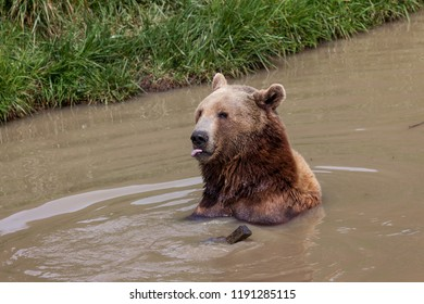 A brown bear sitting in a shallow pond playing with a piece of wood with its tongue sticking out in a funny expression.