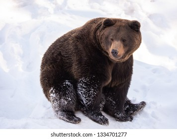 brown bear sitting in the snow in winter - National Park Bavarian Forest - Germany