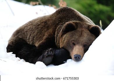 Brown bear are sleep in snow, winter, (ursua arctos)