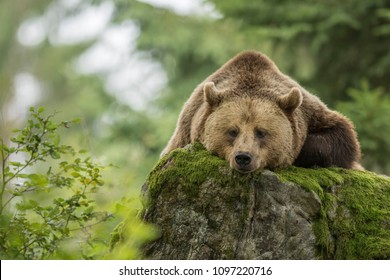 A brown bear sleeping on a rock