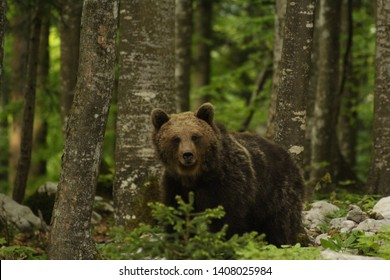 Brown bear, Slovenia, Central Europe