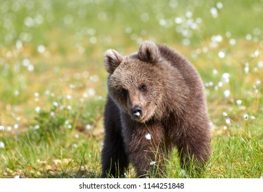 Brown bear sniffing flower on a Finnish swamp in Eastern Finland on summer evening