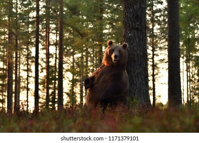 Brown bear standing against a tree. Bear scratching back against a tree.