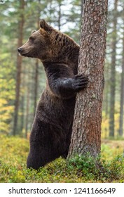 Brown bear standing on his hind legs in the autumn forest . Front view. Natural Habitat. Brown bear, scientific name: Ursus arctos. Autumn season.