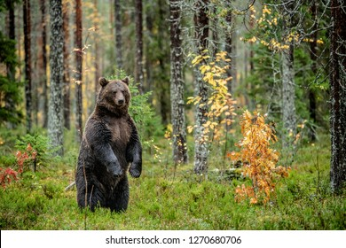 Brown bear standing on his hind legs in the autumn forest.  Scientific name: Ursus arctos. Natural habitat.