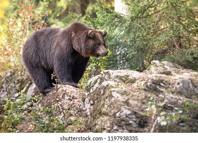 Brown bear is standing on the rock in Bayerischer Wald National Park, Germany
