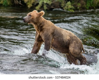 Brown bear standing in the river. USA. Alaska. Katmai National Park. An excellent illustration.