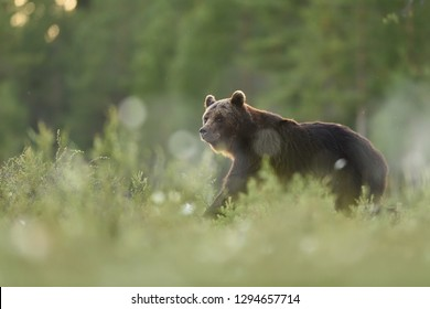 brown bear at summer evening. smiling bear.