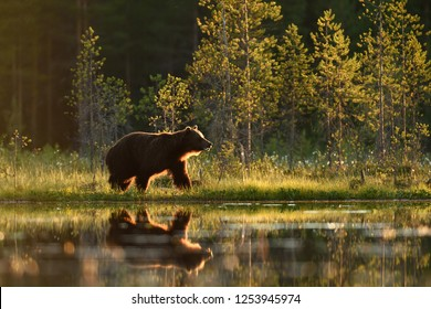 Brown bear at summer evening sun