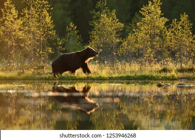Brown bear at summer evening sun with water reflection
