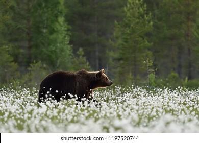 brown bear in summer scenery