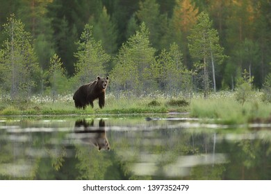 Brown bear in summer scenery with forest background