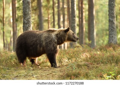 brown bear in a sunny forest