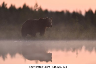 Brown bear at sunset glow with reflection on the water