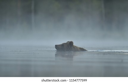 Brown bear swimming in a misty pond early in the morning. Swimming bear.