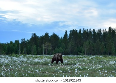 Brown bear in taiga landscape in summer night
