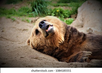 A brown bear taking a relaxing nap