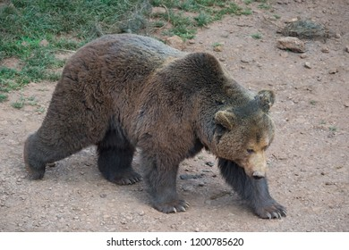 Brown bear. Ursus arctos.
