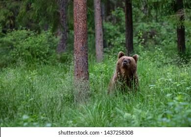 The brown bear (Ursus arctos)