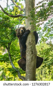 A brown bear, Ursus arctos, climbing up  a tree, holding on tree trunk, summer day in a forest, National Park Bayerischer wald, green background, vertical image