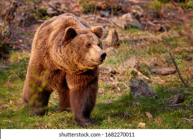 Brown bear, Ursus arctos in colorful autumn, big male in european forest. Typical mountain environment, colorful autumn. Slovakia.