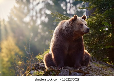 Brown bear, Ursus arctos, in colorful autumn, big male sitting on rock covered in  moss  in european forest. Brown bear against rays of sun.  Typical mountain environment, colorful autumn. Slovakia.