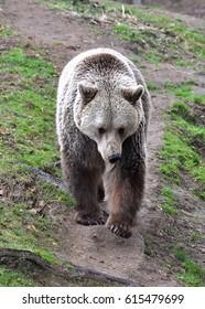 Brown bear (Ursus arctos) is coming