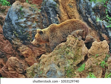 The brown bear (Ursus arctos) with cubs on the rock