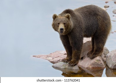 Brown bear (Ursus arctos) fishing salmon in a river