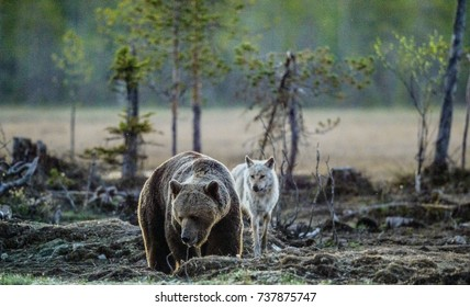 Brown Bear (Ursus Arctos) and Gray Wolf (Canis lupus) at night in summer.