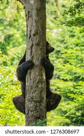 A brown bear, Ursus arctos, holding on tree trunk, peeking behind it, a summer day in a forest, National Park Bayerischer wald, blurry green background, vertical image