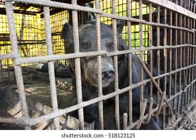 Brown bear (Ursus arctos) imprisoned in a cage