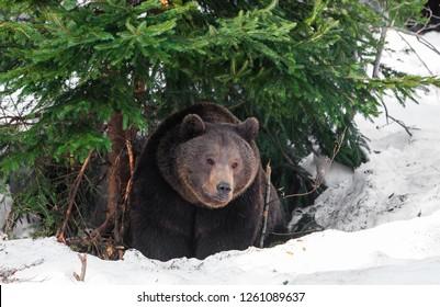 Brown Bear (Ursus arctos) in Lake Clark National Park, Alaska, USA