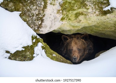 Brown bear (Ursus arctos) looks out of its den in the woods under a large rock in winter - Shutterstock ID 1927517390