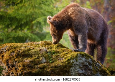 Brown bear, Ursus arctos, older cub in autumn european forest on rock, covered in moss, looking for food. Typical mountain environment, colorful autumn. Slovakia.