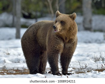 Brown Bear (Ursus arctos)  on the snow, Swamp in spring forest.