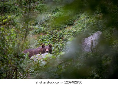 Brown bear (Ursus arctos) resting in forest and eating berries. Image with shallow depth of field