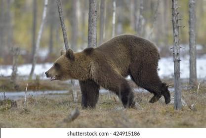 Brown Bear (Ursus arctos) running on a bog in the spring forest.