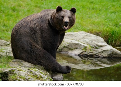 Brown bear, Ursus arctos, sitting on the stone, near the water pond
